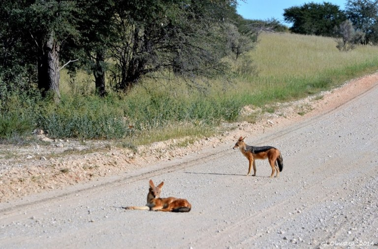 Blackbacked Jackals Kgalagadi Transfrontier Park South Africa