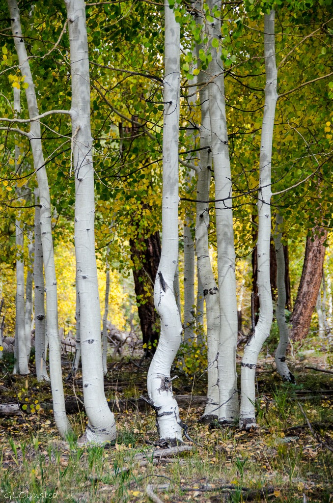 Dancing fall aspen Kaibab National Forest Arizona