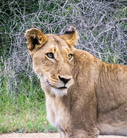 Lioness Kruger National Park Mpumalanga South Africa