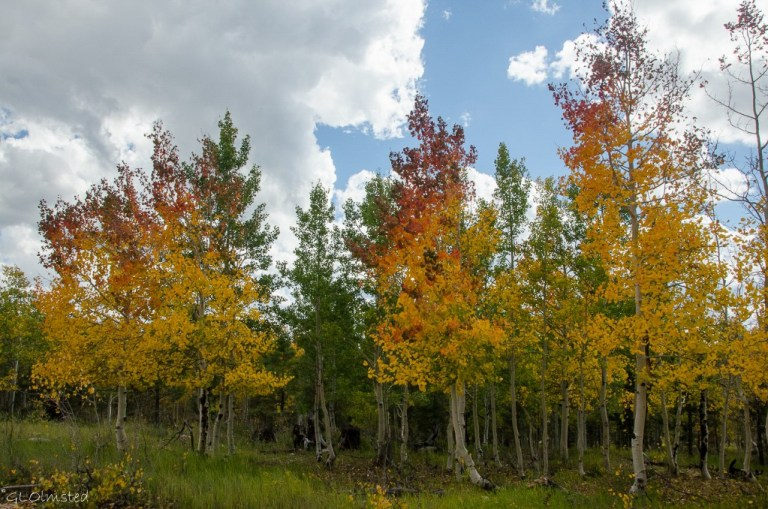Fall aspen Kaibab National Forest Arizona
