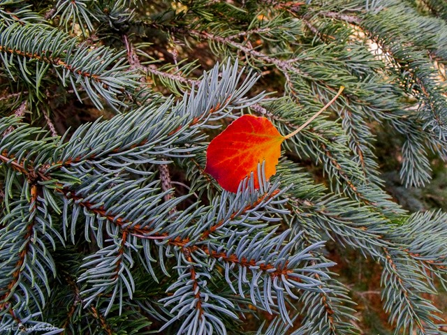Fall aspen leaf nestled in spruce boughs along Widforss trail North Rim Grand Canyon National Park Arizona
