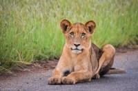 Lion cub Kruger NP SA