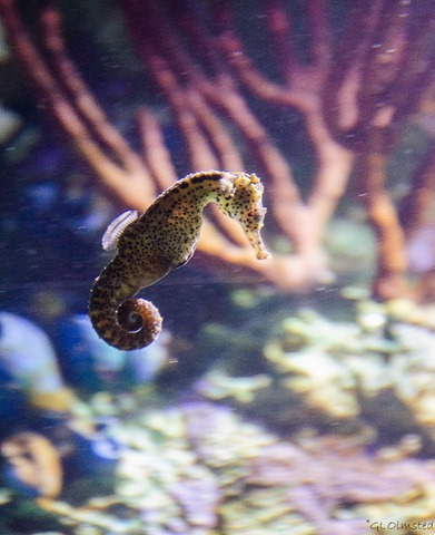 Seahorse Oregon Coast Aquarium Newport Oregon