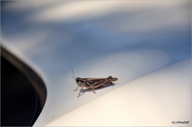 Grasshopper on car Walhalla overlook North Rim Grand Canyon National Park Arizona