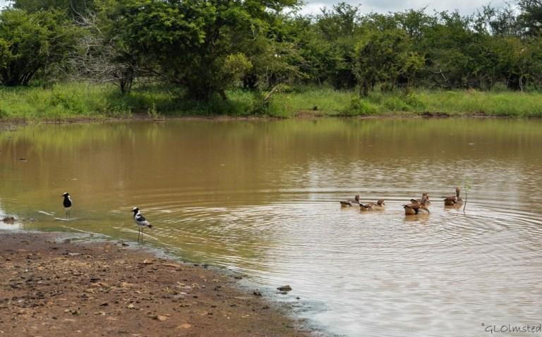 Blacksmith Plover & Egyptian Goose Kruger National Park South Africa