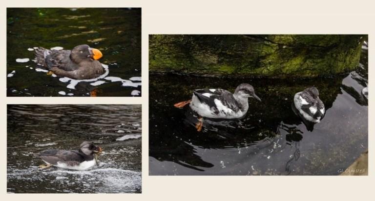 Horned Puffin, Pigeon Guillemots & Rhinocerous Auklet Seabird avaiary Oregon Coast Aquarium Newport Oregon