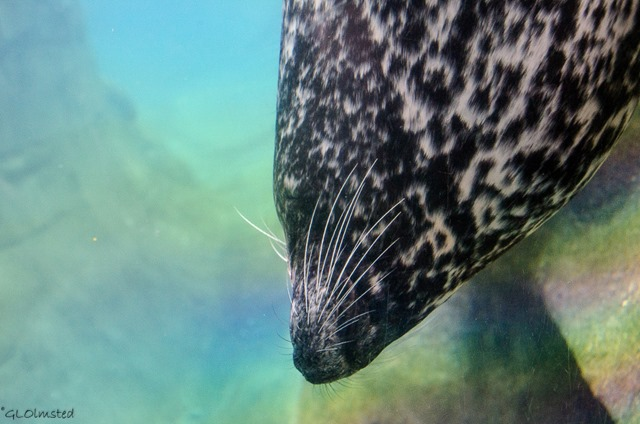 Harbor seal Oregon Coast Aquarium Newport Oregon