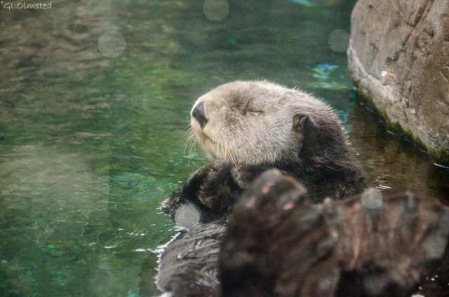 Sleepy Sea Otter Oregon Coast Aquarium Newport Oregon