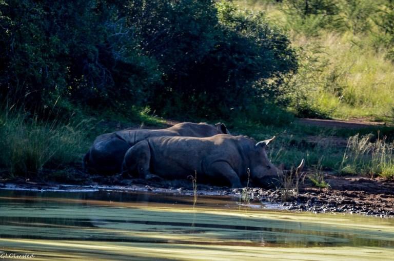 Rhinos Pilanesberg Game Reserve South Africa