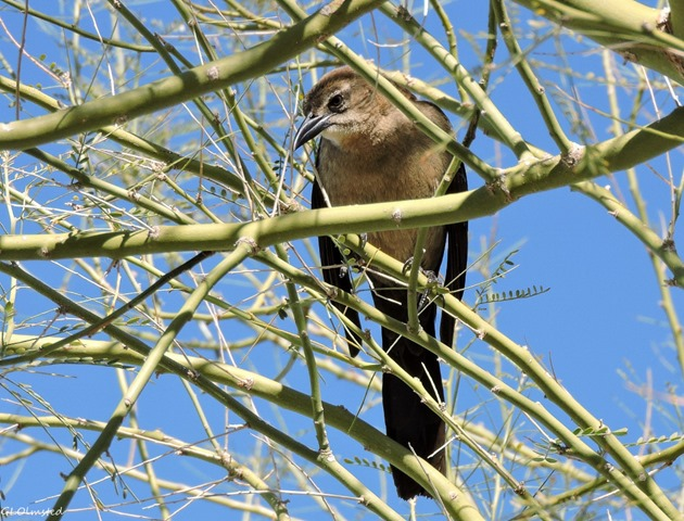 Unidentified bird Yuma Arizona