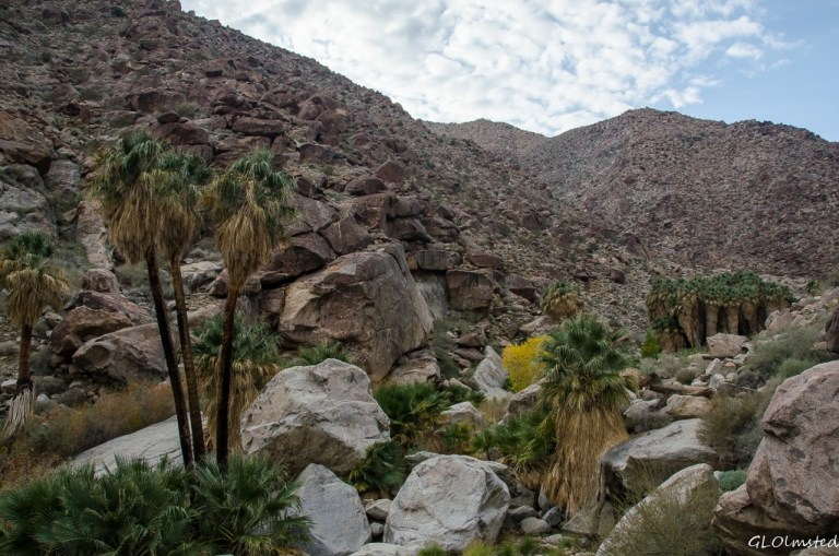 Palm grove Palm Canyon trail Anza-Borrego Desert State Park California