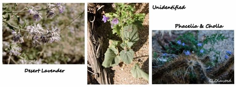 Desert lavender, unidentified & Phacelia Palm Canyon Anza-Borrego Desert State Park California