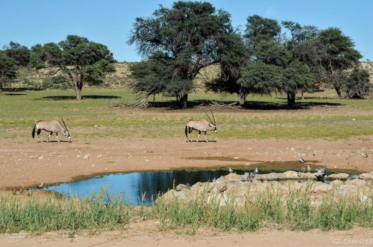 Gemsboks by waterhole Kgalagadi Transfrontier Park South Africa