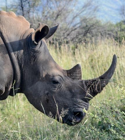 White Rhino Pilanesberg Game Reserve South Africa