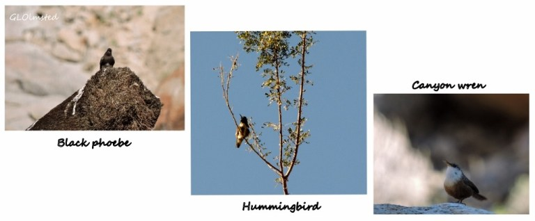 Black phoebe, hummingbird & canyon wren Palm Canyon Anza Borrego Desert State Park California