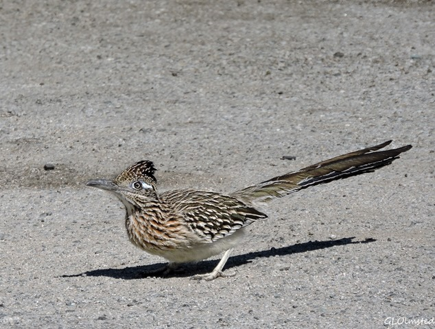 Roadrunner at propane place Joshua Tree California
