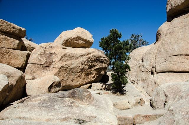 Pinyon pine Hidden Valley Joshua Tree National Park California