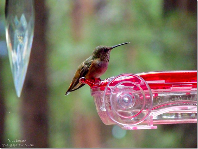 Rufous hummingbird on feeder thru RV window North Rim Grand Canyon National Park Arizona