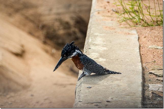 Giant Kingfisher Kruger National Park South Africa