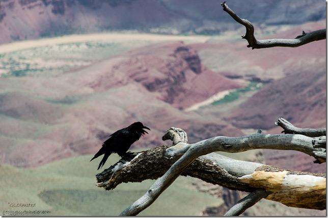 Raven & Colorado River from Walhalla overlook North Rim Grand Canyon National Park Arizona
