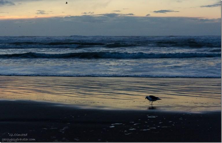 Sunset at the beach & sea gull Bandon Oregon