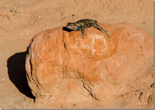 Collared Lizard Wire Pass trail Paria Canyon-Vermilion Cliffs Wilderness Utah