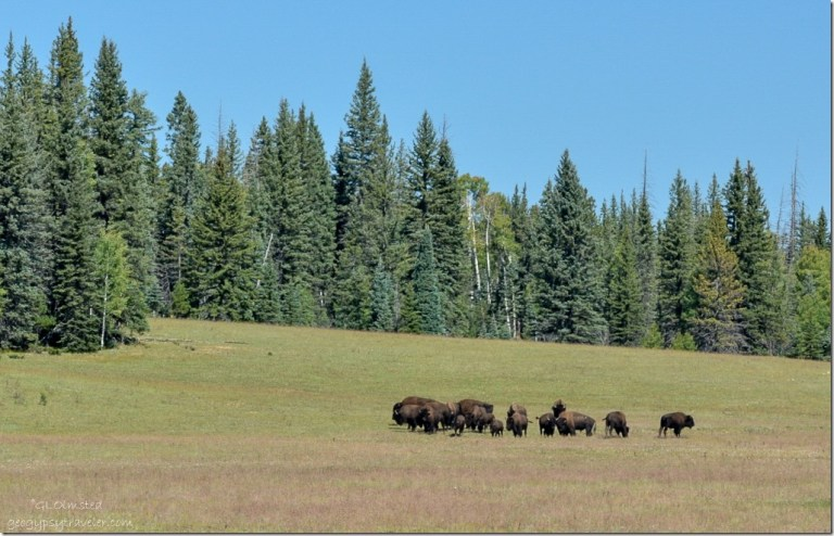 Bison hybrids North Rim Grand Canyon National Park Arizona