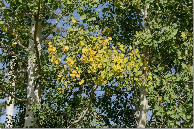 Fall aspen on the Kaibab National Forest Arizona