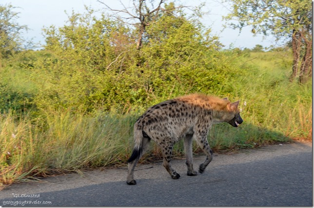 Spotted Hyena Kruger National Park South Africa