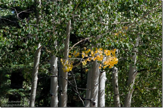 Fall aspen FR610 Kaibab National Forest Arizona