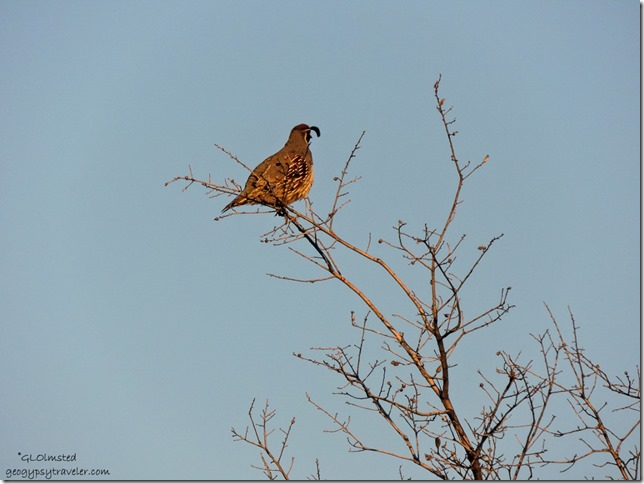 Gambel quail in tree Yarnell Arizona