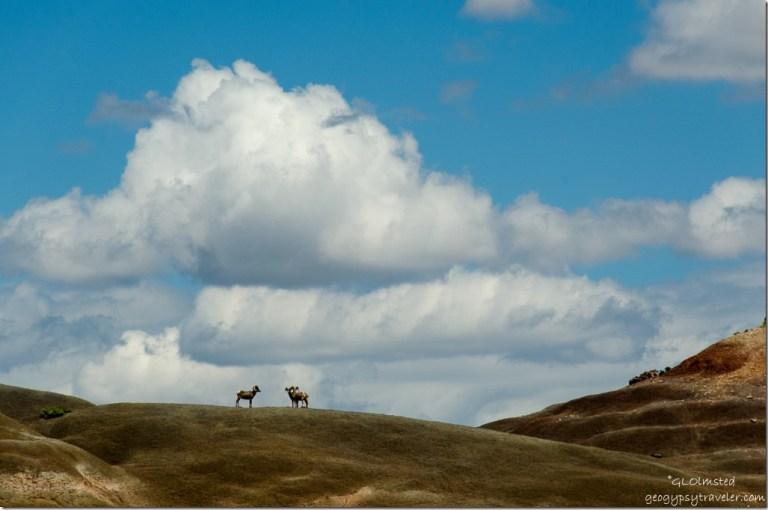 Big-horn sheep above Paria River Grand Staircase-Escalante National Monument Utah