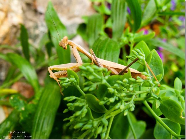 Chinese Mantis on Berta's plants Yarnell Arizona