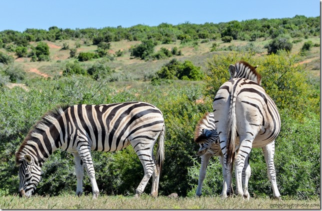 Zebras from underground bird hide Addo Elephant National Park South Africa