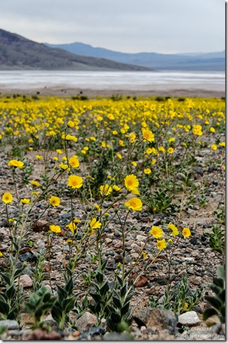 Wildflowers Badwater Basin Road Death Valley National Park California