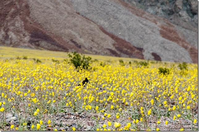 Raven in wildflowers Badwater Basin Road Death Valley National Park California