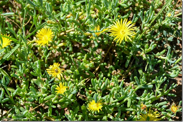 Unidentified yellow flowering succulent along along R329 South Africa
