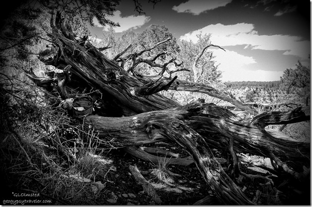 Twisted dead Juniper Walhalla Plateau North Rim Grand Canyon National Park Arizona