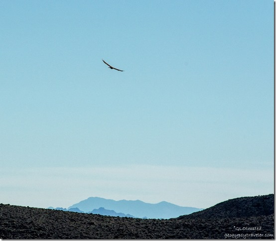 Hawk soaring above Dante's View Death Valley National Park California