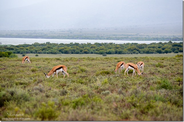 Springbok Camdeboo National Park Eastern Cape Graaff-Reinet South Africa