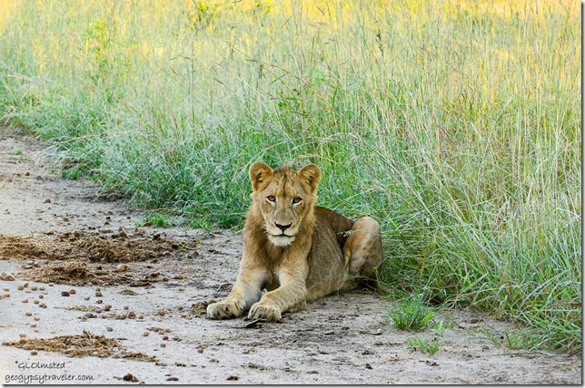 Lion Kruger National Park South Africa