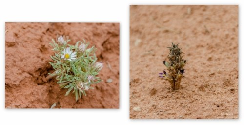 05 lerwss Stemless Daisy & Spike Broomrape Bunting trail Kanab UT collage (640x328)