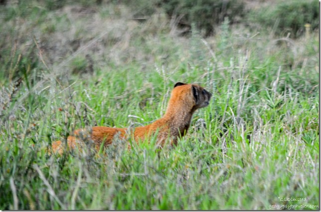 Yellow Mongoose Mountain Zebra National Park Eastern Cape South Africa