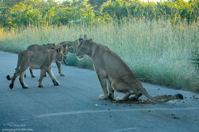 08 DSC_4933lerwss Lions Kruger NP SA fff165-2 (640x424)