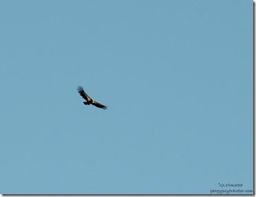 Condor South Rim Grand Canyon National Park Arizona