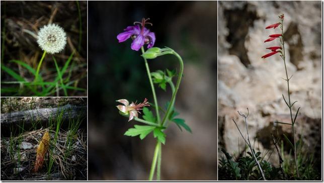Wildflowers Widforss Trail North Rim Grand Canyon National Park Arizona