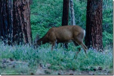 Mule deer North Rim Grand Canyon National Park Arizona