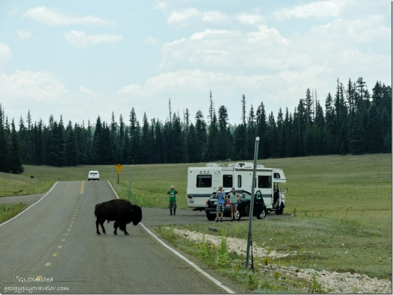 Bison crossing SR67 & people North Rim Grand Canyon National Park Arizona