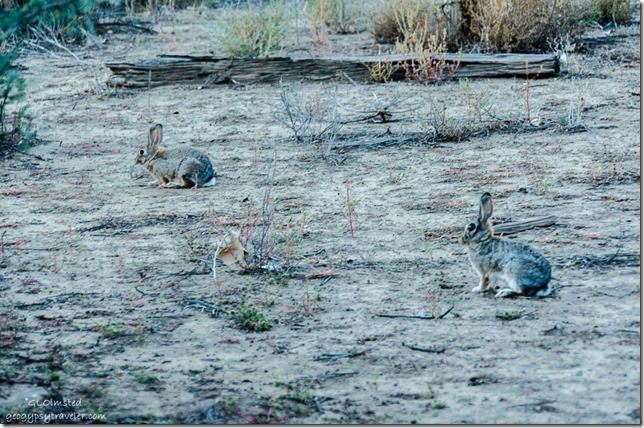 Rabbits Kirkland Arizona