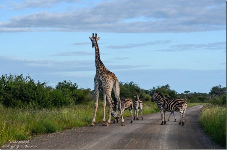 Giraffe & zebras Kruger National Park South Africa